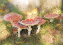 Группа в составе красные musrooms пластинчатого гриба мухы Стоковые Фото