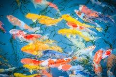 Группа в составе красочное причудливое заплывание рыб карпа в озере Школа o Стоковое Фото