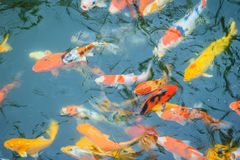 Группа в составе красочное причудливое заплывание рыб карпа в озере Школа o Стоковые Фотографии RF