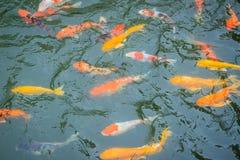 Группа в составе красочное причудливое заплывание рыб карпа в озере Школа o Стоковая Фотография