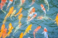 Группа в составе красочное причудливое заплывание рыб карпа в озере Школа o Стоковые Изображения