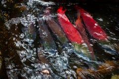 Группа в составе красочные salmon остатки по мере того как они путешествует вверх по реке к spwning - земли Стоковые Изображения RF