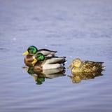 Группа в составе 3 красочных утки мать 2 изображения дочей цвета Стоковые Изображения RF