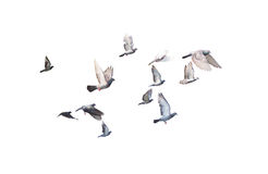 Группа в составе клиппирование голубя изолированное летанием внутрь Стоковое Фото