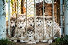 Группа в составе маламут милого щенка за загородкой Стоковая Фотография