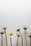 Группа в составе маленькая маргаритка цветет на белой текстурированной предпосылке холста стоковое фото rf