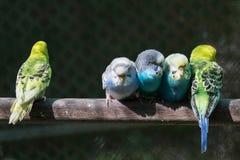 Группа в составе малые длиннохвостые попугаи Стоковая Фотография RF
