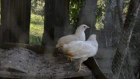 Группа в составе малые милые цыпленоки идет в курятнику Закройте вверх белизны немногих цыплят недель старых в курятнике Сельское сток-видео