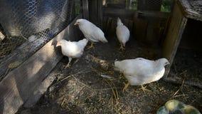 Группа в составе малые милые цыпленоки идет в курятнику Закройте вверх белизны немногих цыплят недель старых в курятнике Сельское видеоматериал