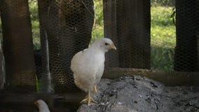 Группа в составе малые милые цыпленоки идет в курятнику Закройте вверх белизны немногих цыплят недель старых в курятнике Сельское акции видеоматериалы