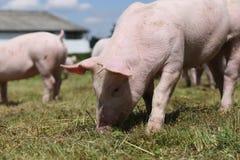 Группа в составе малые свиньи есть свежую зеленую траву на луге Стоковая Фотография