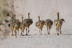 Группа в составе малый бежать цыплят страуса стоковое фото rf