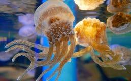 Группа в составе медузы Стоковая Фотография RF