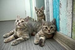 Группа в составе 3 милых серых великобританских котят Стоковые Фото