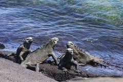 Группа в составе морские игуаны Стоковые Изображения RF