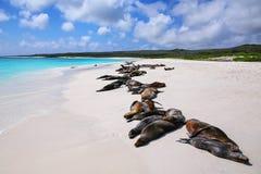 Группа в составе морсые львы Галапагос отдыхая на песчаном пляже в Gardner b стоковое фото