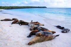 Группа в составе морсые львы Галапагос отдыхая на песчаном пляже в Gardner b стоковые изображения