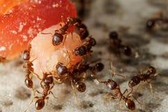 Группа в составе муравеи на части еды Стоковое Изображение RF