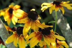 Группа в составе наблюданный чернотой цветок Сьюзана запятнала с солнечностью Стоковая Фотография