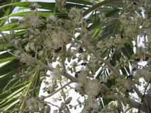 Группа в составе насекомые подавая на белых цветках на тропической пальме в Венесуэле Стоковые Фото