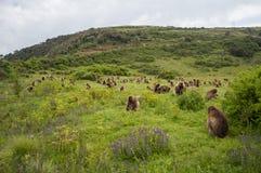 Группа в составе обезьяны Gelada в горах Simien, Эфиопия Стоковые Фото