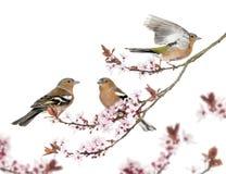 Группа в составе общий зяблик садилась на насест на ветви вишни Japanse Стоковое фото RF