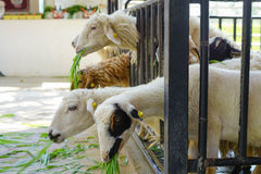 Группа в составе овцы есть траву с стадом на ферме стоковое фото rf