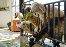 Группа в составе овцы есть траву с стадом на ферме стоковые изображения rf