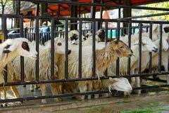 Группа в составе овцы есть траву с стадом на ферме стоковая фотография