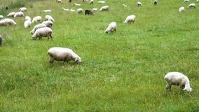 Группа в составе овцы видеоматериал