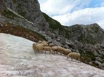 Группа в составе овцы Стоковое фото RF