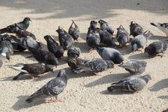 Группа в составе одичалые голуби - вид спереди Стоковая Фотография