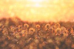 Группа в составе одуванчик цветет на заходе солнца с цветением и цветнем Стоковые Фото