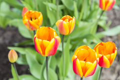 Группа в составе оранжевые тюльпаны в саде Стоковое фото RF