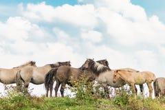 Группа в составе лошади 2 Konik Стоковое фото RF