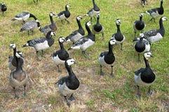 Группа в составе одичалые гусыни щипцев в парке Стоковое Фото