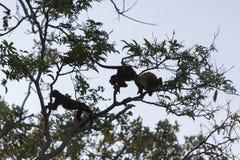 Группа в составе одичалые обезьяны в деревьях, Венесуэла Стоковая Фотография RF