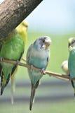 Группа в составе пастельное Budgies совсем садить на насест в дереве Стоковая Фотография RF