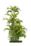 Группа в составе пальмы бетэла изолированные на белой предпосылке стоковые фотографии rf