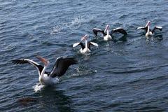 Группа в составе пеликаны получая готовая для того чтобы принять  стоковые изображения