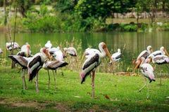 Группа в составе пеликаны улавливает рыб от реки озера Птица пеликана стоковое фото rf