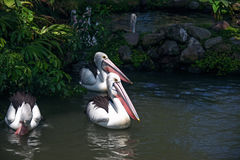 Группа в составе пеликаны плавает в пруде, окруженном травой стоковая фотография rf