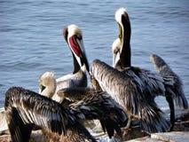 Группа в составе пеликаны Стоковое Изображение RF