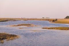 Группа в составе питьевая вода африканских слонов от реки Chobe на заходе солнца Сафари и шлюпка живой природы курсируют в национ Стоковое Изображение RF
