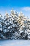 Группа в составе 3 покрытых снег дерева против голубого неба Стоковые Изображения RF