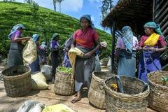 Группа в составе подборщики чая ждет для того чтобы иметь их сбор утра листьев, который весят около пика Адамса в Шри-Ланке стоковые фотографии rf