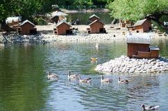 Группа в составе птицы воды около домов уток Стоковая Фотография RF
