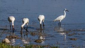 Группа в составе птицы колпицы и маленький egret ища еда Стоковое Изображение RF