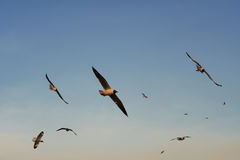 Группа в составе птицы скользя на заходе солнца Стоковое Изображение