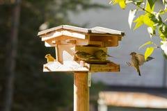 Группа в составе птицы Greenfinch европейца подавая на высушенном se солнцецвета Стоковые Фотографии RF